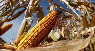 Billion-dollar lawsuits claim GMO corn 'destroyed' US exports to China