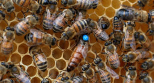 Bee gone: Scientists turn to technology as declining bee numbers threaten global food security