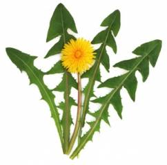 What Are Benefits of Organic Dandelion Leaf – Global Healing Center