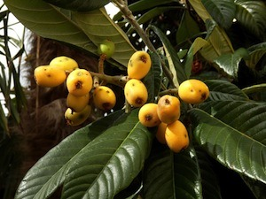 The Health Benefits of Loquat Leaf – Global Healing Center