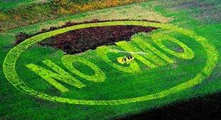 Mexico Bans GMO Corn Growth Read More