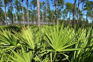 Saw Palmetto and Men'€™s Health Benefits – Global Healing Center
