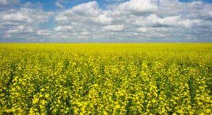 """World'€™s first""€™ farmer trial over GM crop contamination begins in Australia"
